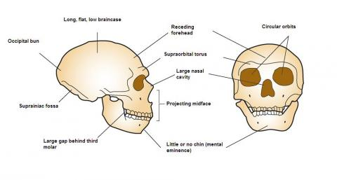 Drawing of Neanderthal cranial anatomy
