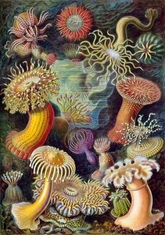 Sea Anemones by Ernst Haeckel American History Awesome Radio - Narrated Stories Famous People Social Studies Visual Arts Philosophy