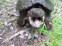 Snapping Turtle in Action