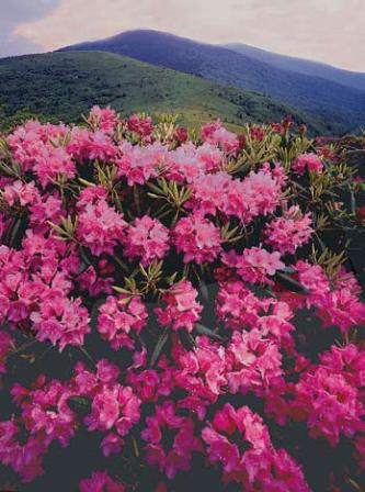 Rhododendrons at Roan Mountain, N.C.