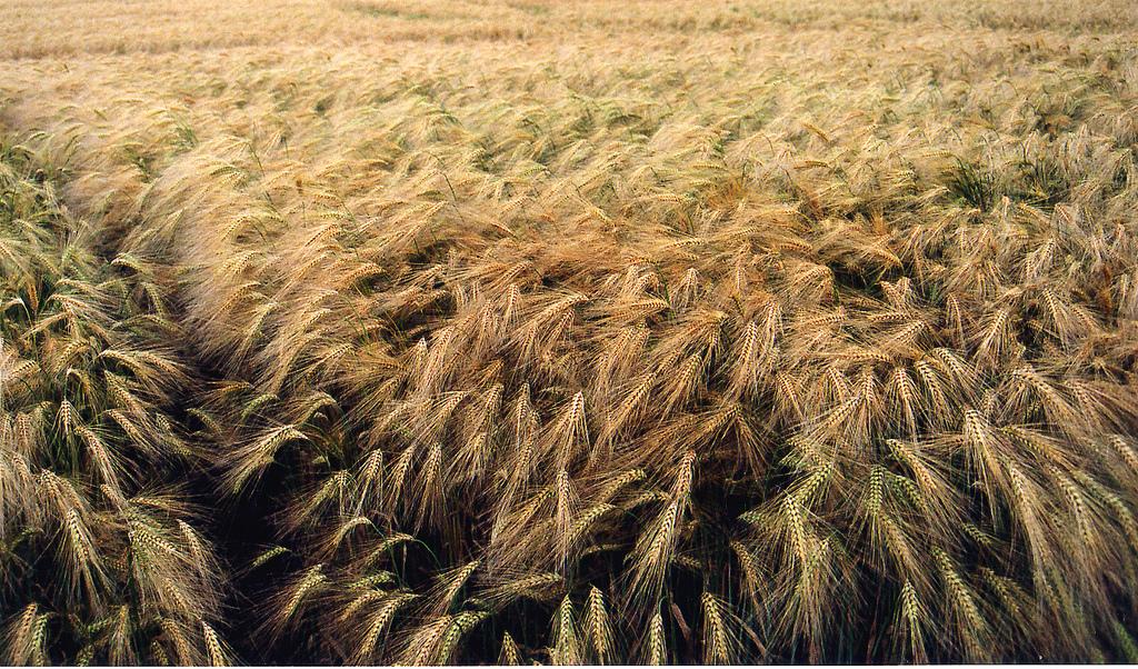 barley fields by nitrok - photo #13