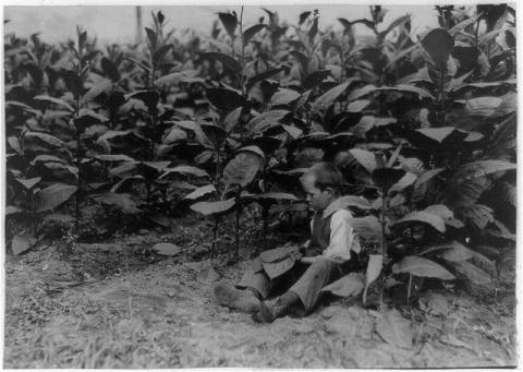 Young Lad Picking Tobacco Disasters American History Social Studies Visual Arts