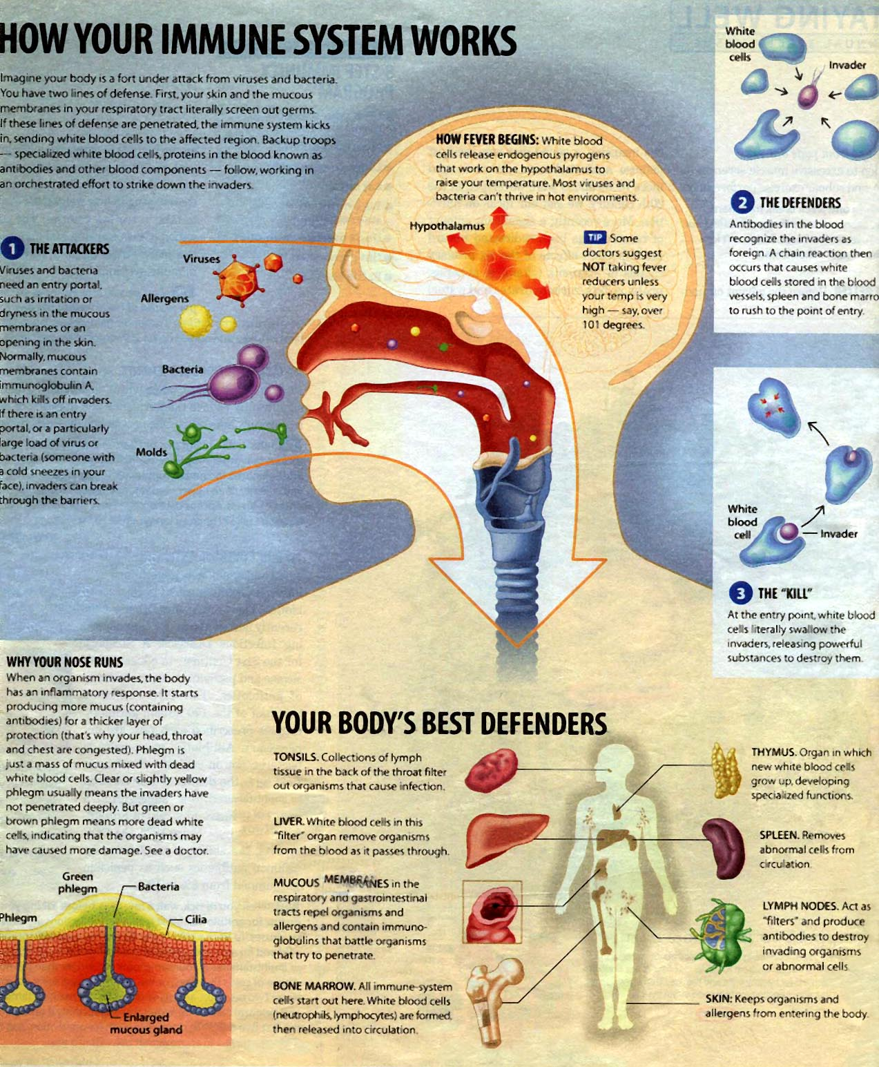 Immune System How It Works