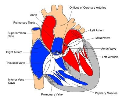 heart muscle - interior view, Muscles