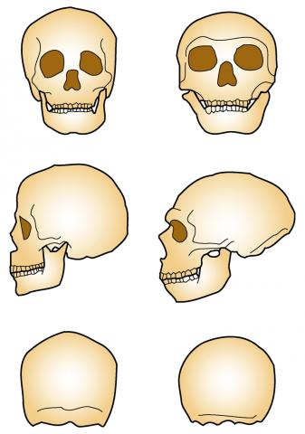 Drawing detailing the cranial differences between man and Neanderthals