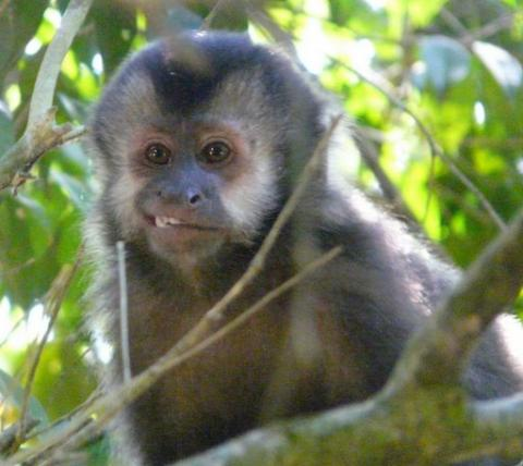 Iguazu - Capuchin Monkey on the Upper Trail Social Studies Geography Visual Arts