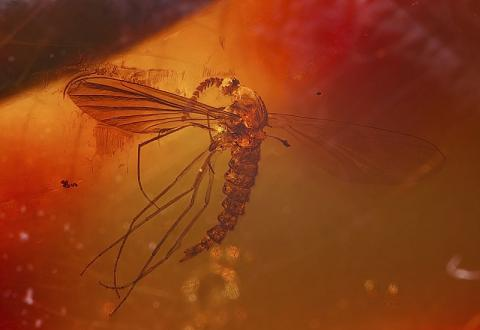 Mosquito Trapped in Amber Ancient Places and/or Civilizations STEM Archeological Wonders