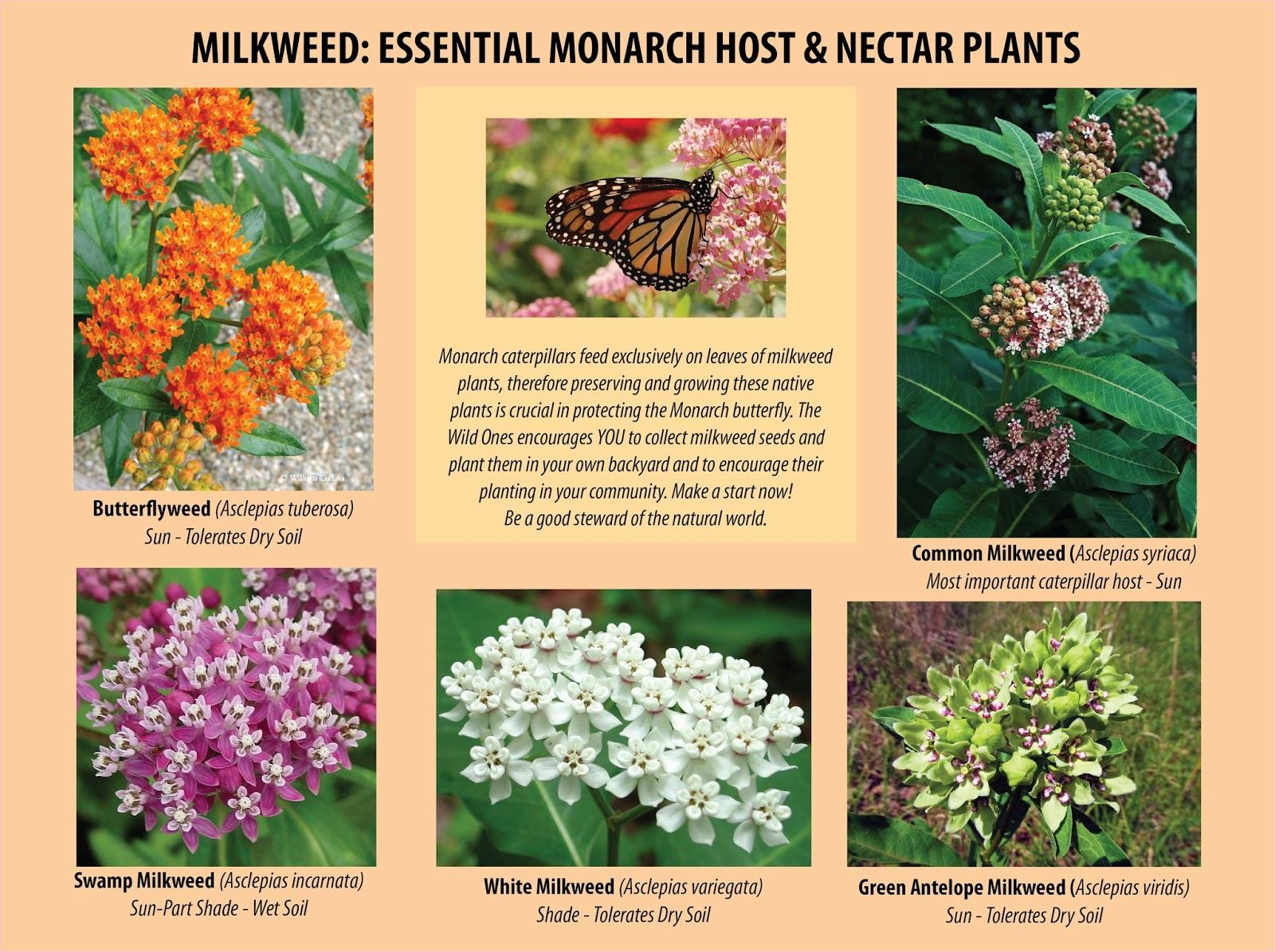 Wondering What Do Monarch Butterflies Eat