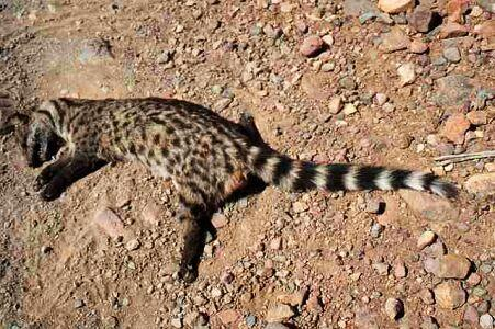 SARS Virus - May Have Originated With a Civet Cat History Medicine Tragedies and Triumphs Disasters