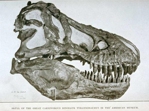 T. rex fossilized skull discovered 1907