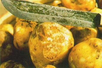Infected Tubers Begin to Rot from Potato Blight Disasters STEM Education