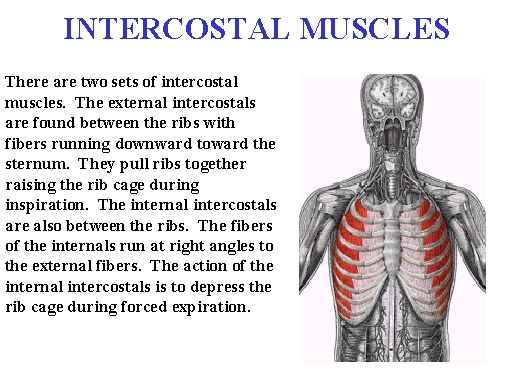 intercostal muscles, Human body