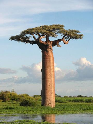 Baobab - Tree of Life STEM Geography