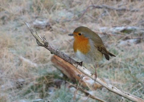 Robin in Winter - Lake District Fells Geography Ethics Tragedies and Triumphs Visual Arts