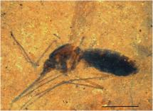 Blood Preserved in Mosquito for 46 Million Years
