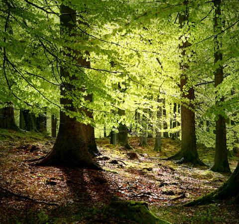 Beechwood Forest - Source of Medieval Glass Geography Visual Arts