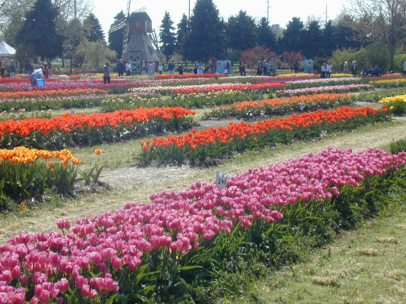 Tulip Time is a beautiful time at Dutch Village in Holand; Tulips on  display at Nelis Dutch Village Holland Michigan Tulip Time Festival ...