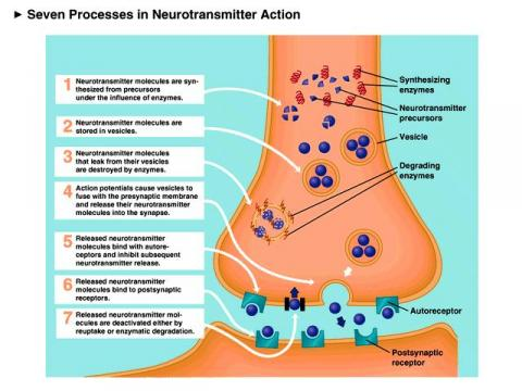 Seven Processes in Neurotransmitter Action