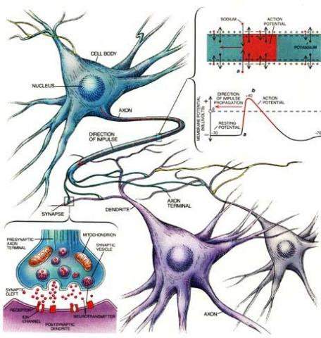 Neurotransmitters-Travel Patterns in the Human Body